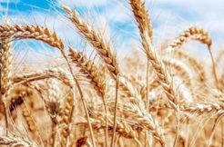 TMO Buğday Alımına Bayramdan Sonra Başlayacak