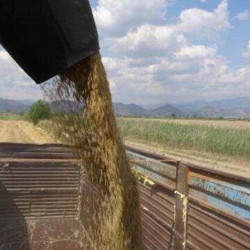 Buğday hasadı, besiciyi sevindirdi