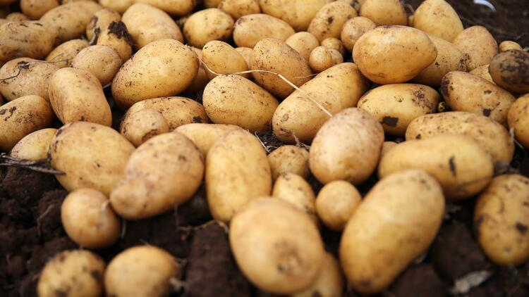 Afyon'da 550 bin ton patates üretimi bekleniyor