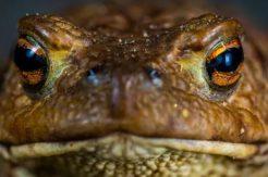 Dünyanın en büyük kurbağasını kurtarmaya çalışıyor