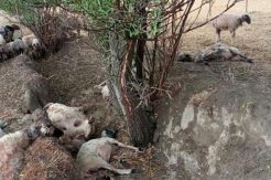 Yıldırım isabet eden sürüdeki 40 koyun öldü, 10'u yaralandı
