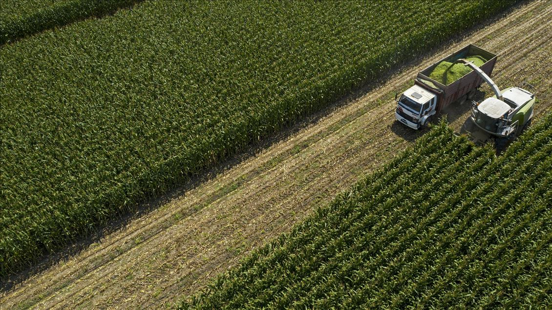 Türkiye'de en fazla silajlık mısırın yetiştiği İzmir'de hasat başladı
