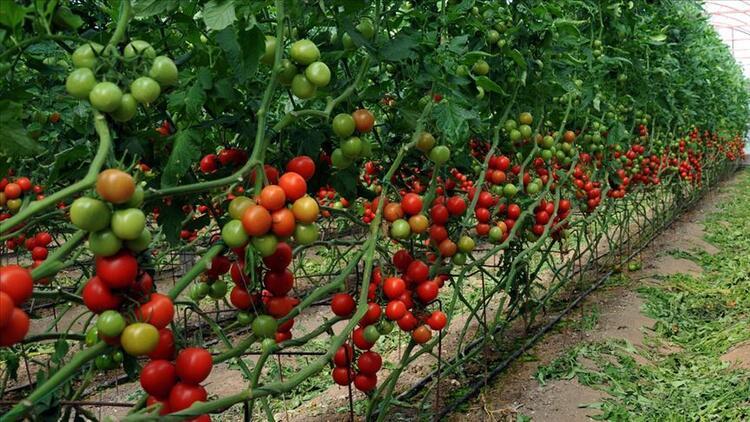 Biyolojik ve Biyoteknik Mücadele Yapan Çiftçiye Dekar Başına 520 TL Destek